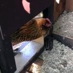 """Arduino Chicken Coop Door - installed interior: """"Loca"""" inspecting construction"""