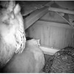 Live Chicken Cam in Auburn CA