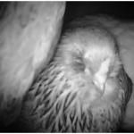 Live Chicken Cam in Auburn CA (night vision)