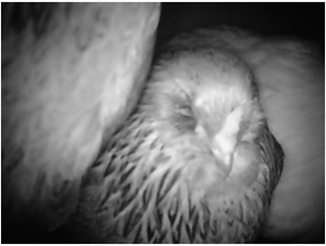 Live Chicken Cam in Auburn CA (night vision)